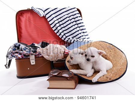 Adorable chihuahua dogs and suitcase with clothing isolated on white