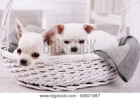 Adorable chihuahua dogs in basket in room