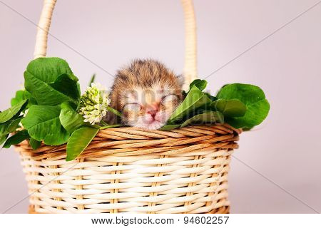 tiny kitten in basket