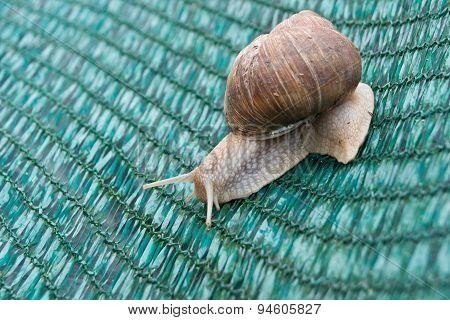 Snails (Helix pomatia)