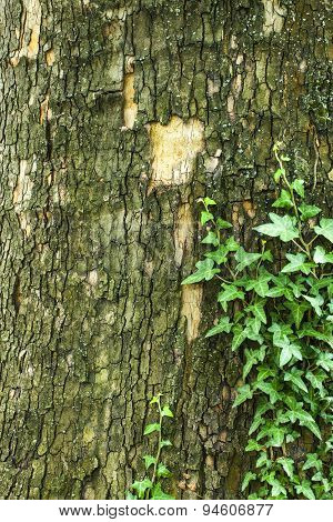 Tree Bark Texture With Green Plant