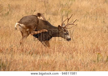 Mule Deer Buck Scratching Itch