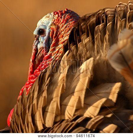 Wild Turkey Squared