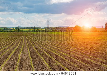 Sunset Above The Young Corn Field