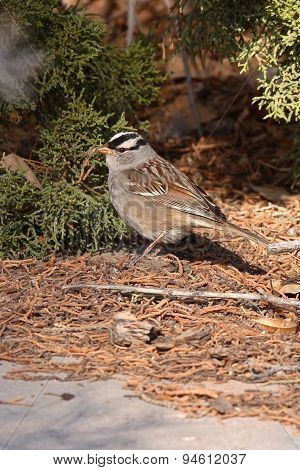 White-crowned Sparrow Feeding