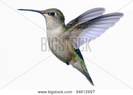 Isolated Ruby-throated Hummingbird On White