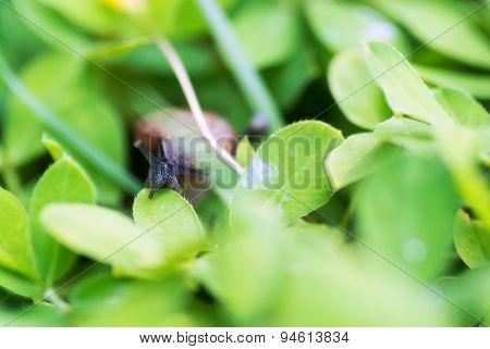 Snail On Leaf In Garden Green Grass .