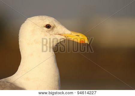 4th Year Western Gull