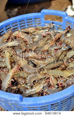 Shrimp harvest in a blue basket in the mekong delta