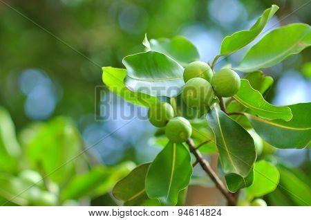 wild fruits in a Vietnamese wild island
