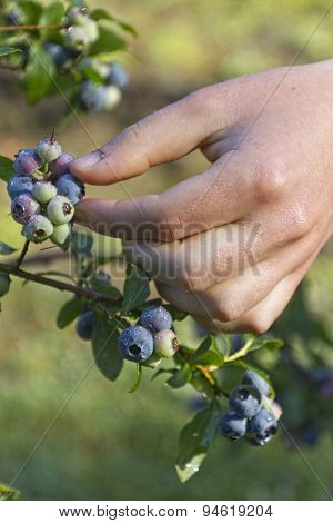 Wet Hand Picking Ripe Blueberries