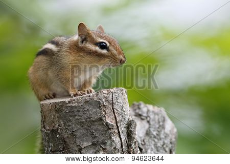 Eastern Chipmunk Sitting On A Tree Stump