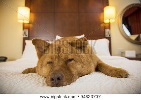Dog Sleeping In Hotel Room
