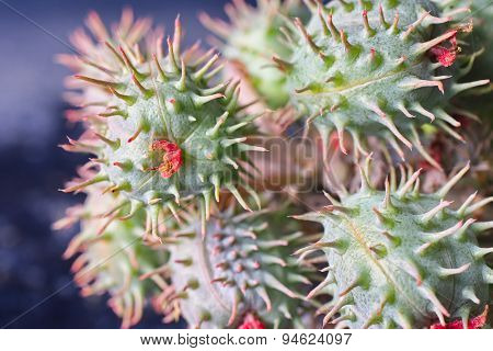 Close Up Of A Green And Red Round Thorn