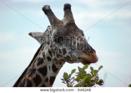 Kenyan Giraffe