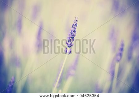 Retro Toned Lavender Flower, Shallow Depth Of Field.