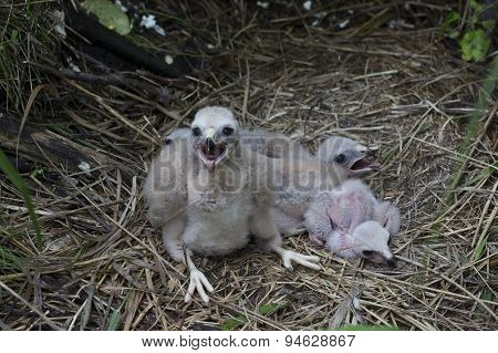 Chicks Northern Harrier