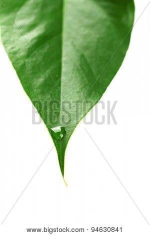 Green leaf with droplets isolated on white