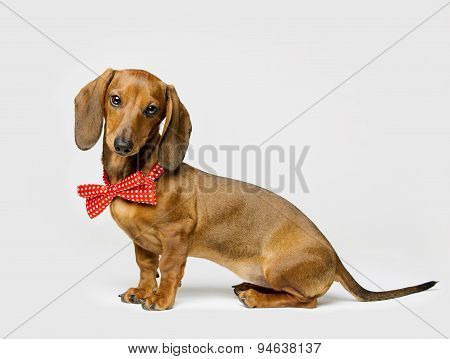 Dachshund Dog In Bow Tie On White Background, Funny Animal Dressed In Clothing, Side View