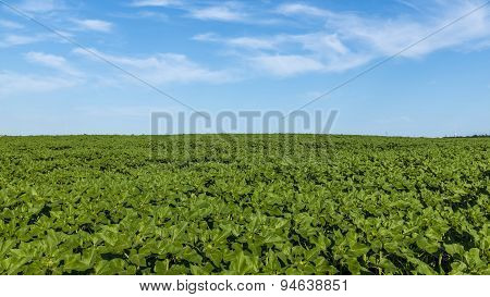 Green Corn Fields And Blue Sky
