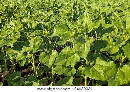 Corn Plants, Closeup Shot
