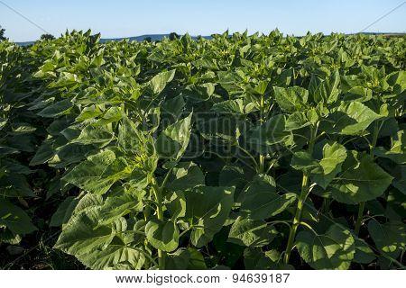 Closeup Of Corn Plants