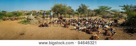 GODWAR REGION, INDIA - 13 FEBRUARY 2015: Shepherds and goat herd in Indian desert in the state of Gujarat.