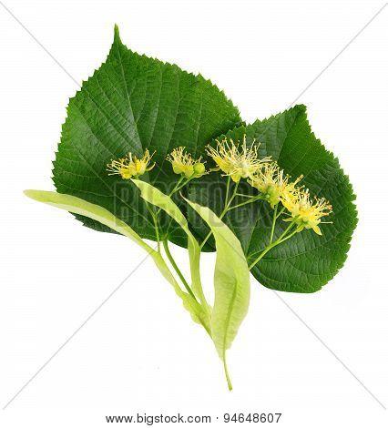 Linden leaf and flower