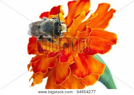 Bee On A Flower. It Is Isolated On A White Background