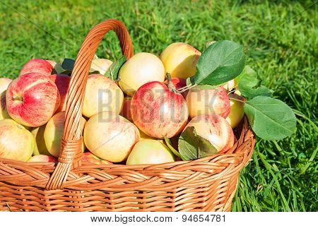 Crop Of Red Juicy Apples In Basket