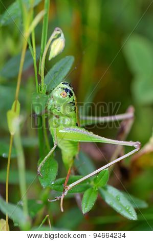 Alpine Grasshopper, Miramella Alpina