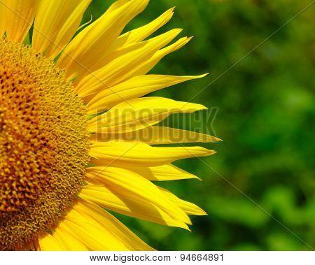 a sunflower on green bokeh