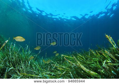 Underwater background with seaweed and fish
