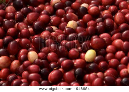 Horizontal Harvested Cranberries