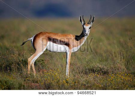 A springbok antelope (Antidorcas marsupialis) in grassland, South Africa