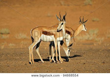 Springbok antelopes (Antidorcas marsupialis), Kalahari desert, South Africa