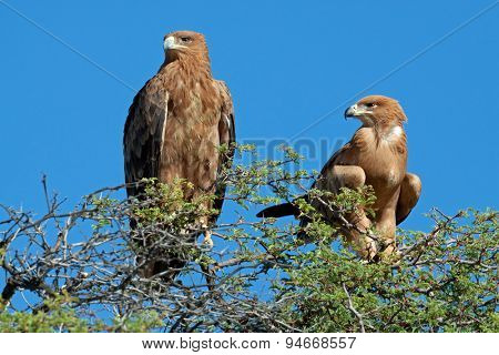 A pair of tawny eagles (Aquila rapax) perched on top of a tree, South Africa