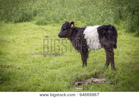 Belted Galloway Calf Looking Left
