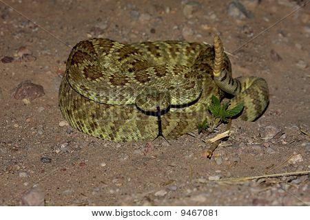Mojave Rattlesnake - Crotalus Scutulatus