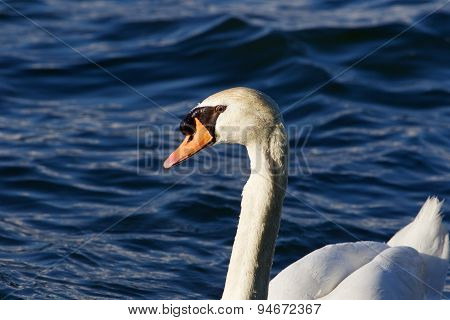 The mute swan is swimming