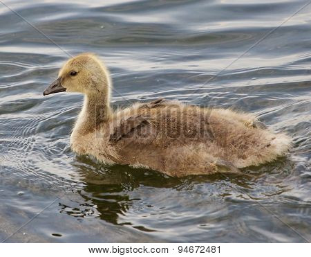 Young Cackling Goose Is Swimming In The Lake