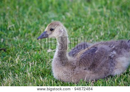 Cute Young Cackling Goose Is Laying On The Grass