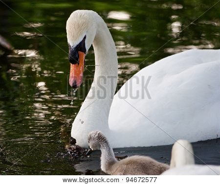The Mute Swan Is Helping Its Children To Get The Food