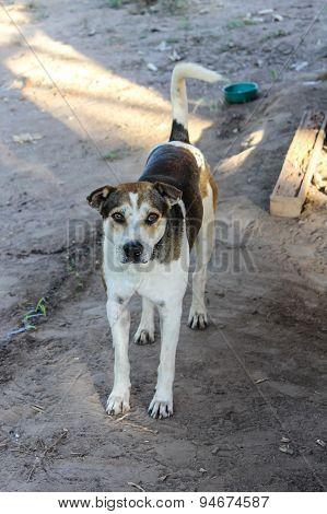 Thai Stray Dog