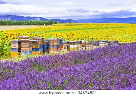 blooming fields of lavander and sunflowers in Provence, France