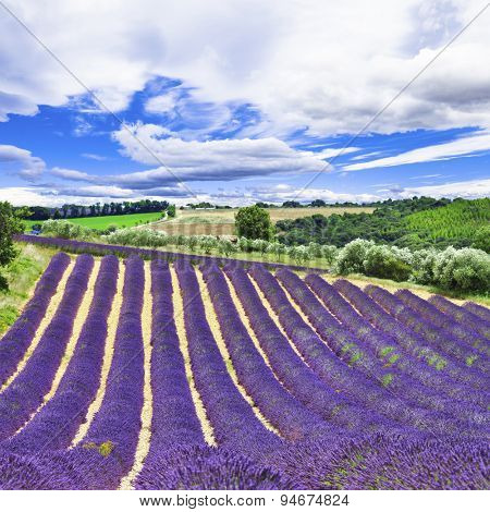 violet rows of blooming lavander inProvance, France