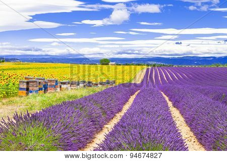 blooming lavander and sunflowers in Provence, France