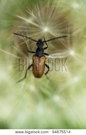 Brown longhorn beetle on dandelion