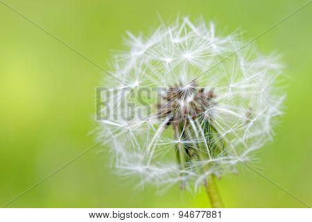 Closeup Of Over Bloomed Dandelion