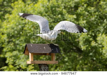 Seagull Standing On Bird Table